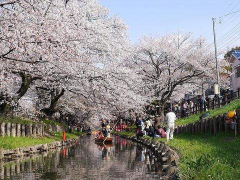 新河岸川(冰川神社背面附近)的樱花道