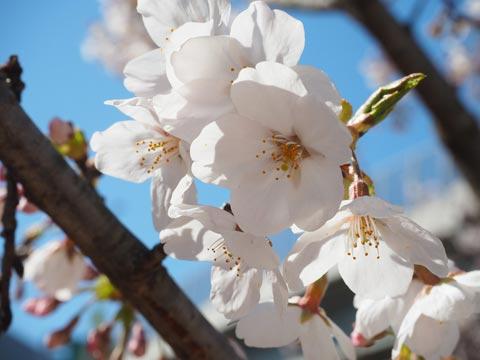Somei yoshino (Prunus yedoensis)